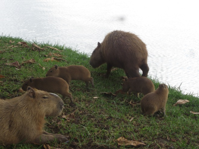 And I saw capybara. Belo Horizonte, Brazil, Apr 2014